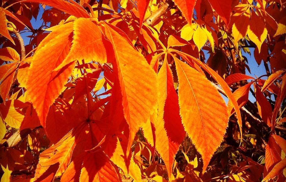 Ohio-Buckeye-Fall-Color-2