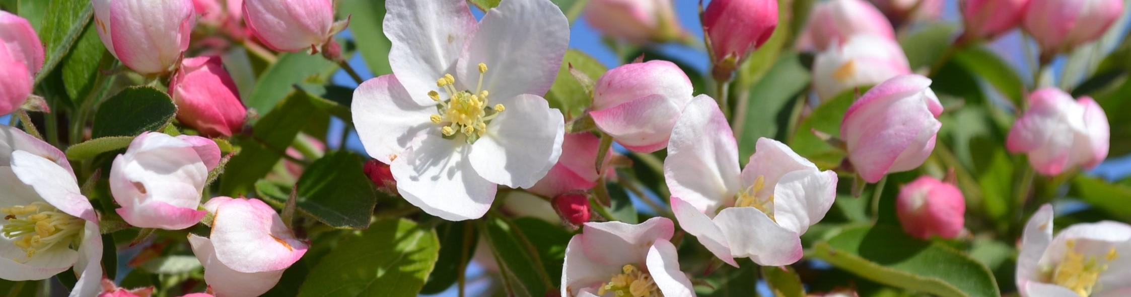 Crabapple-Flowers-2